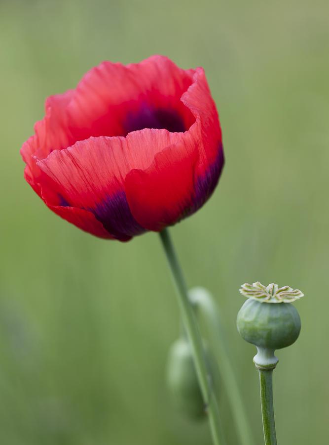 Corn Poppy Photograph - Red Poppy by Gillian Dernie