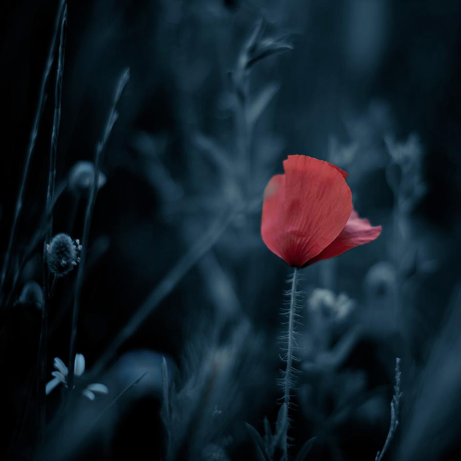 Red Poppy Photograph by Luis Mariano González