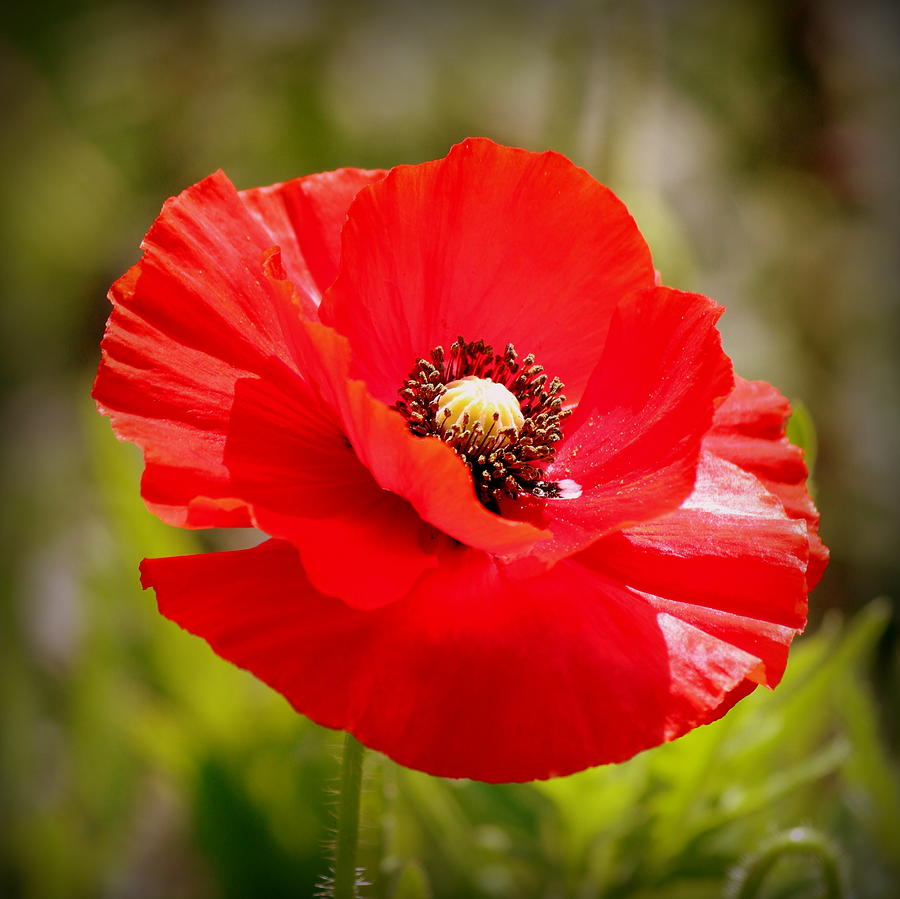 Red Photograph - Red Poppy Power by Rosanne Jordan