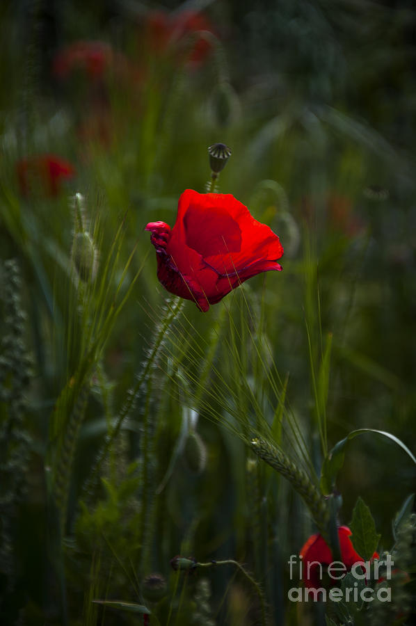 Bloom Photograph - Red Poppy by Svetlana Sewell