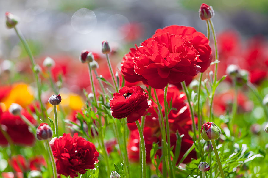 The Flower Fields Photograph - Red Ranunculus by Rick Seymour