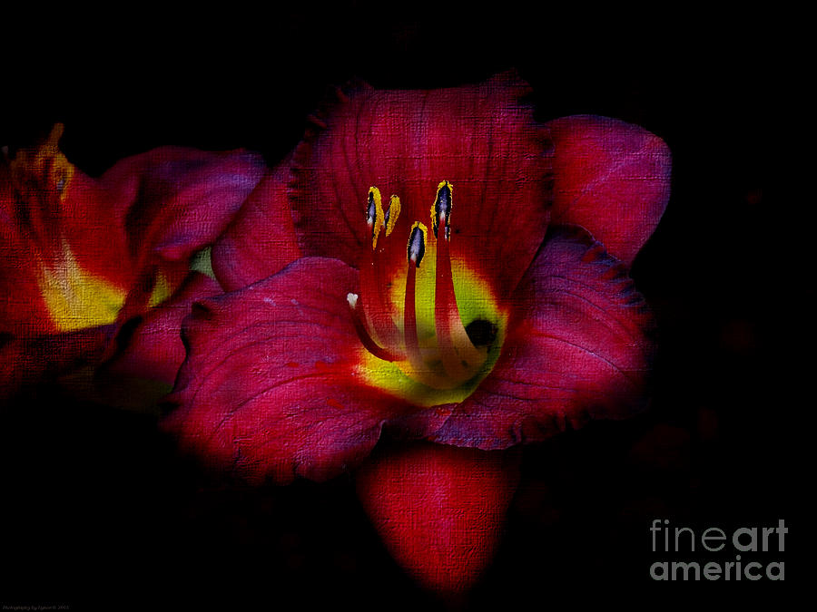 Red Red Lily Photograph