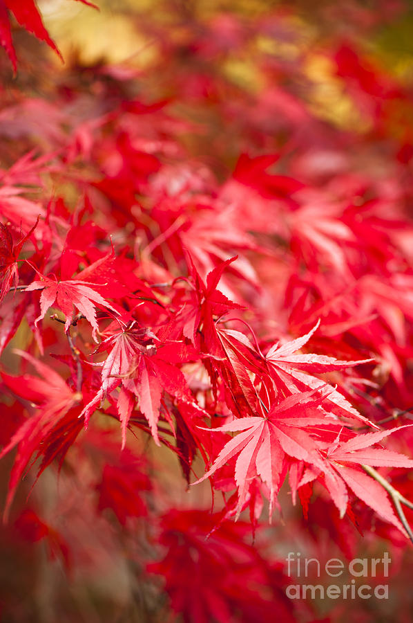 Acer Photograph - Red Red Red by Anne Gilbert