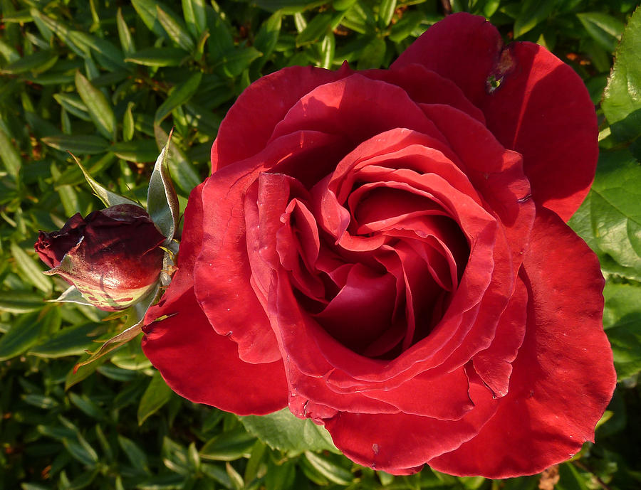 Red Rose And Bud Photograph by Baato