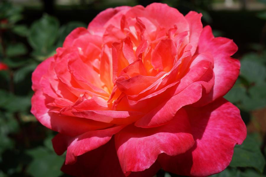 Red Rose Art Prints Vivid Bright Bold Photograph