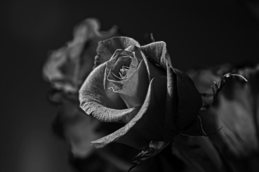 Wall decoration photograph red rose black and white by steve raley