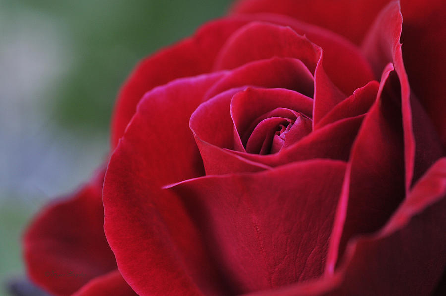 Red Photograph - Red Rose Close 1 by Roger Snyder
