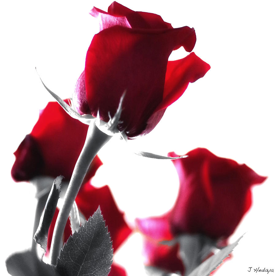 Red Rose Photograph - Red Rose Color Block 2 by Joseph Hedaya