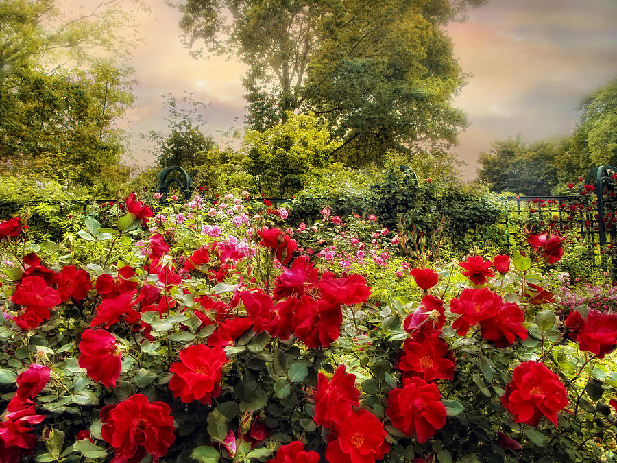 Nature Photograph   Red Rose Garden By Jessica Jenney