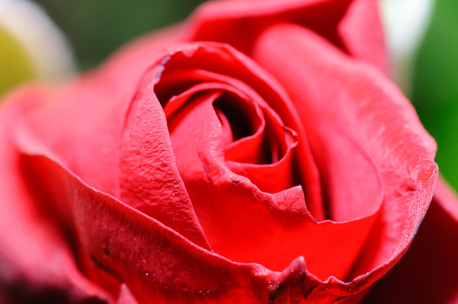Rose Photograph - Red Rose by Ivelin Donchev