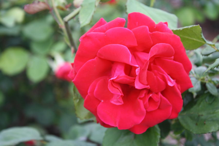 .003 Photograph - Red Rose by James Lawson
