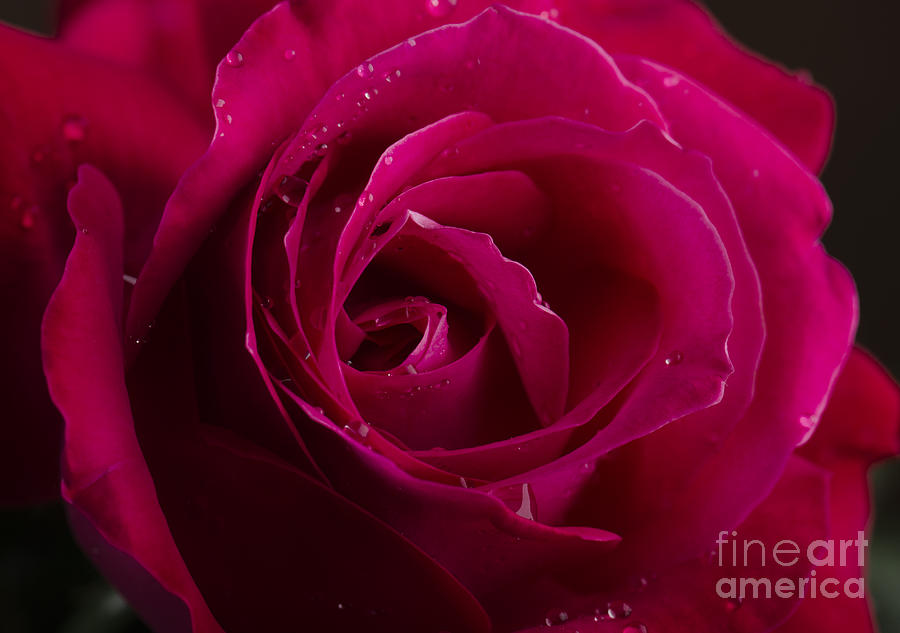 Rose Photograph - Red Rose by Jelena Jovanovic