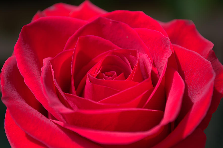 Roses In Garden: A Rose By Any Other Name ---