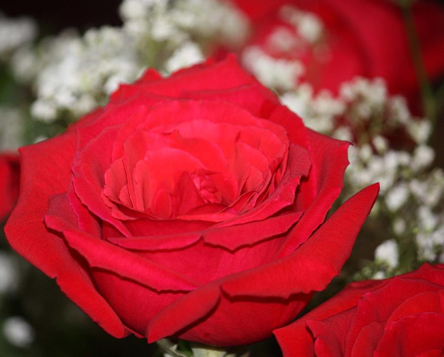 Red Roses Photograph - Red Rose by Kimber  Butler
