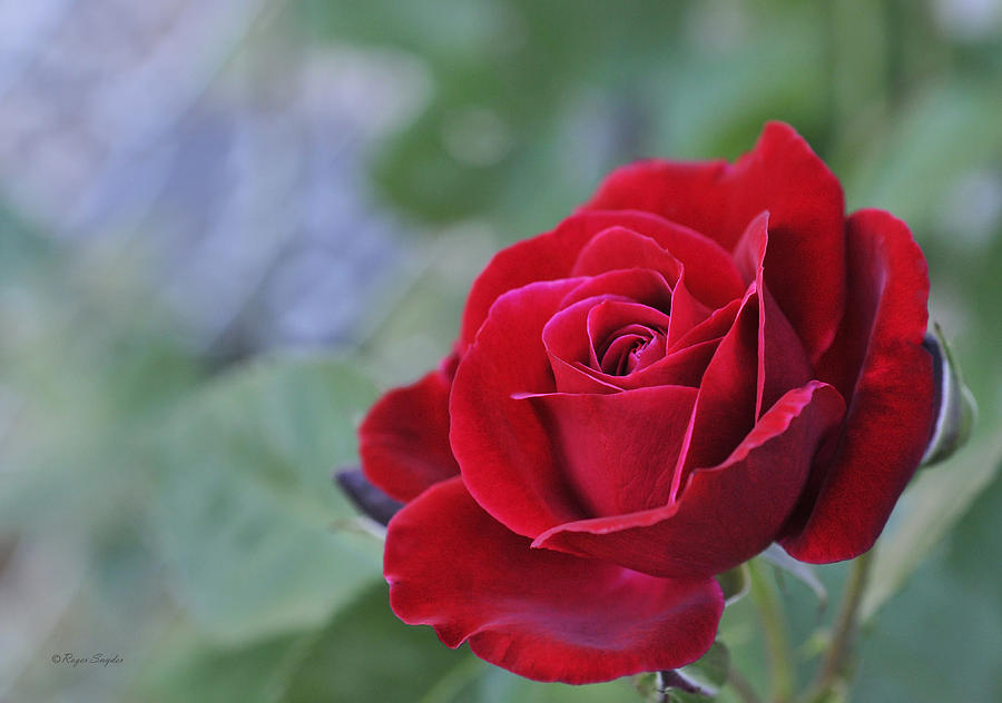 Red Photograph - Red Rose Light by Roger Snyder