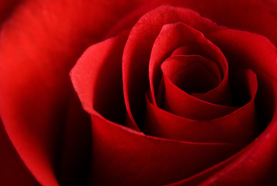 Beautiful Photograph - Red rose macro by Johan Swanepoel