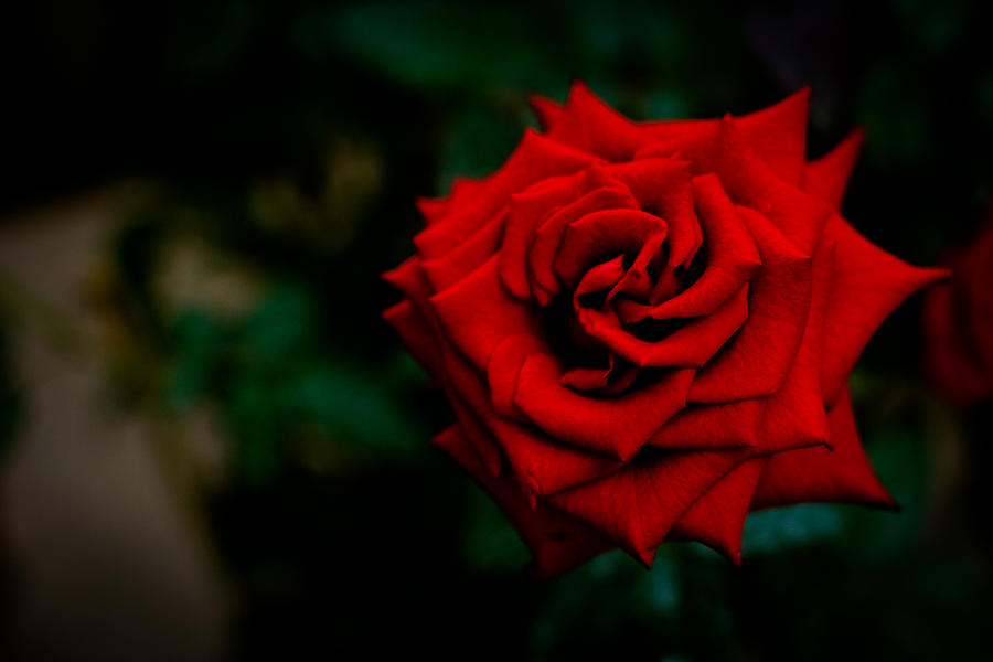 Red Rose Photograph - Red Rose Singapore Flower by Donald Chen
