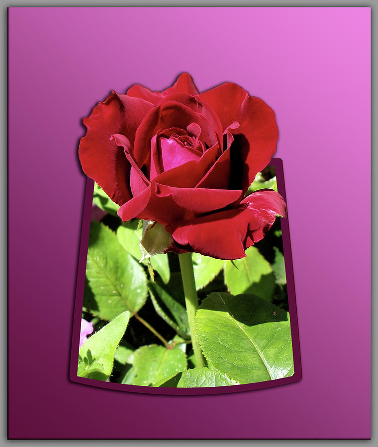 Red Rose Photograph - Red Rose by Thomas Woolworth
