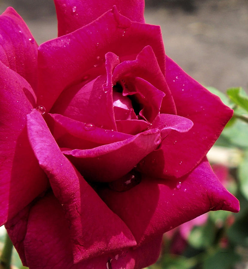 Red Photograph - Red Rose Up Close by Thomas Woolworth