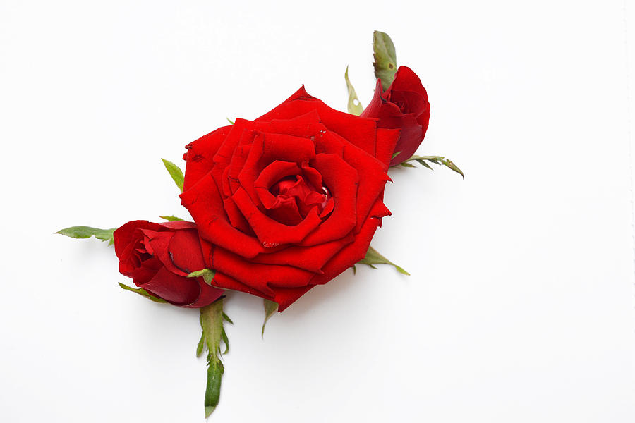 Celebration Photograph - Red Rose by Worapan Kongtrakoon