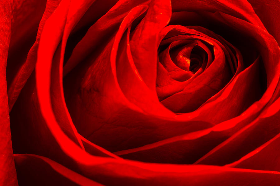 Rose Photograph - Red Rose by Zev Steinhardt