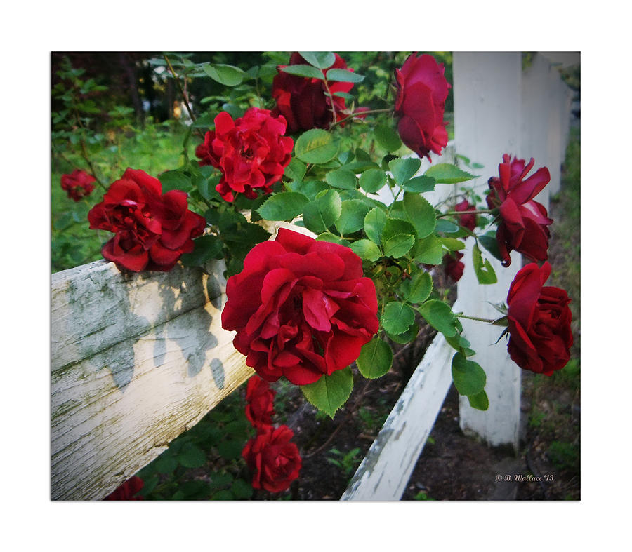 2d Photograph - Red Roses - White Fence by Brian Wallace