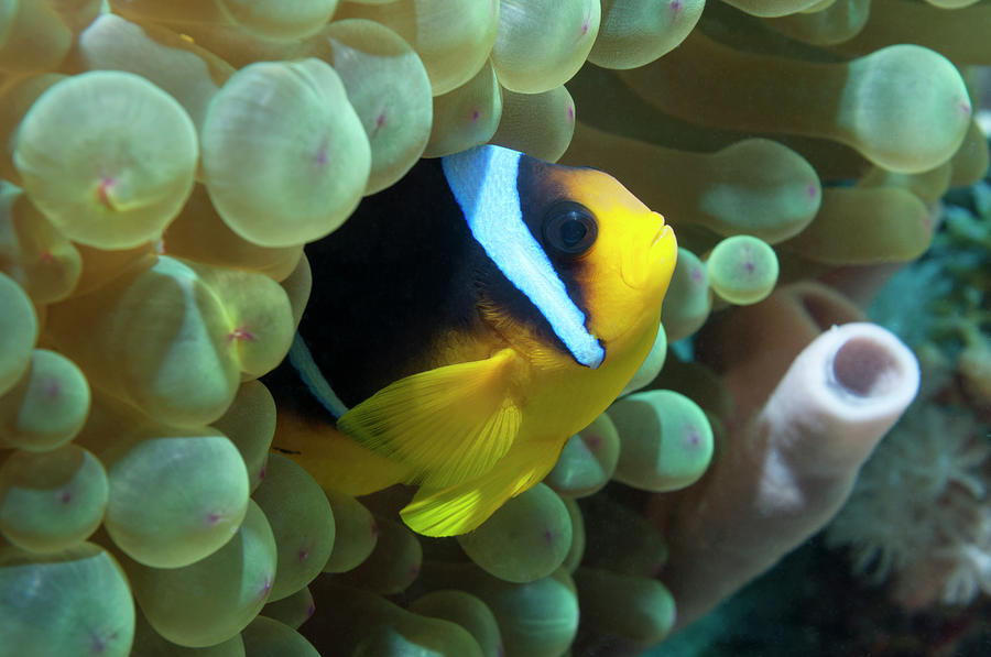 Red Sea Anemonefish Or Clownfish Photograph by Georgette Douwma