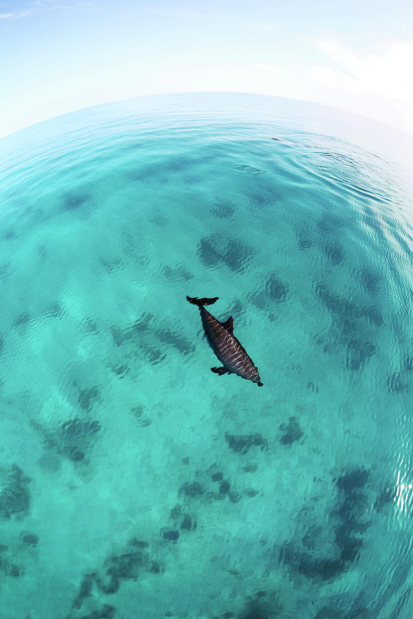 Red Sea Bottlenose Dolphin Photograph by Aristotoo