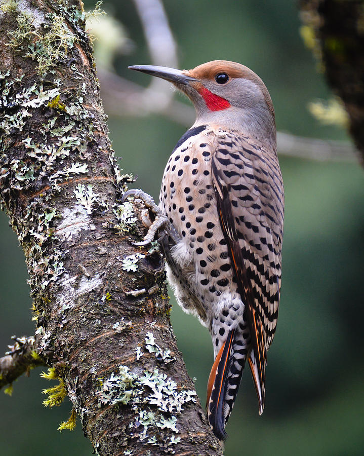 Bird Photograph - Red Shafted Flicker Vi by Ronda Broatch
