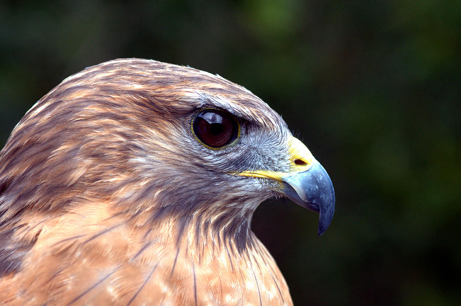 Red Shoulder Hawk Photograph by Eagle  Finegan