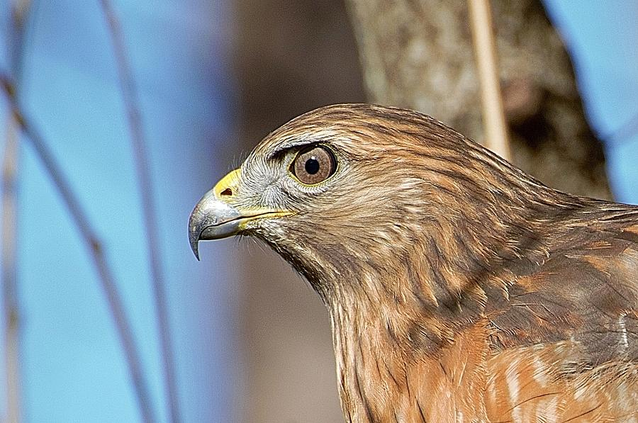 Red-shouldered Hawk by Ludwig Keck