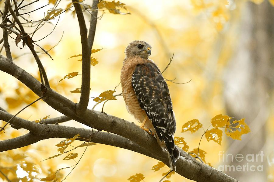 Red Shouldered Hawk by Miguel Celis