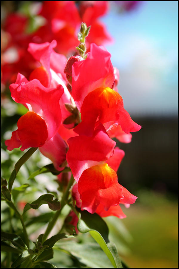 Flower Photograph - Red Snapdragons II by Aya Murrells
