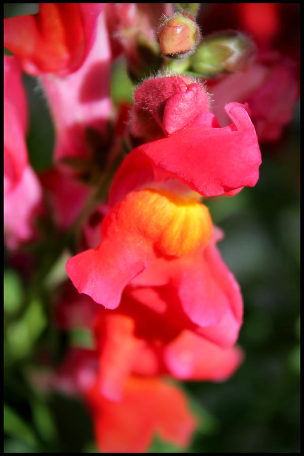 Flower Photograph - Red Snapdragons IIi by Aya Murrells