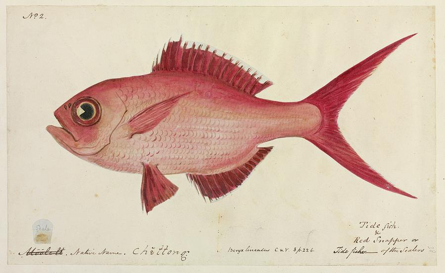Artwork Photograph - Red Snapper Fish by Natural History Museum, London/science Photo Library