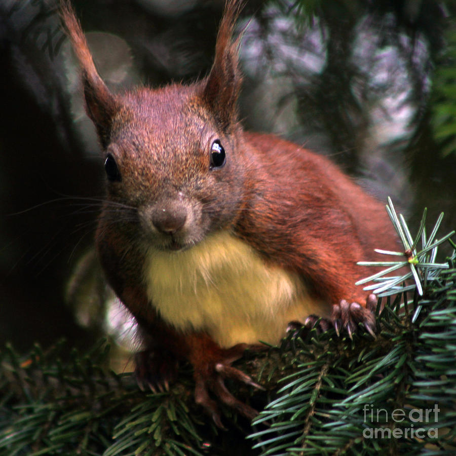 10012 Red Squirrel Photograph