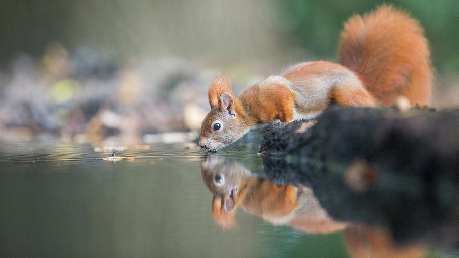 Animal Photograph - Red Squirrel by Erik Willaert