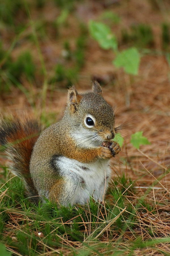 Acadia Photograph - Red Squirrel In Acadia National Park by Acadia Photography