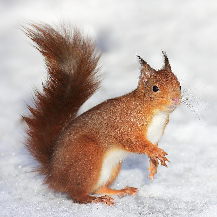 Red Squirrel Photograph - Red Squirrel in snow by Grant Glendinning