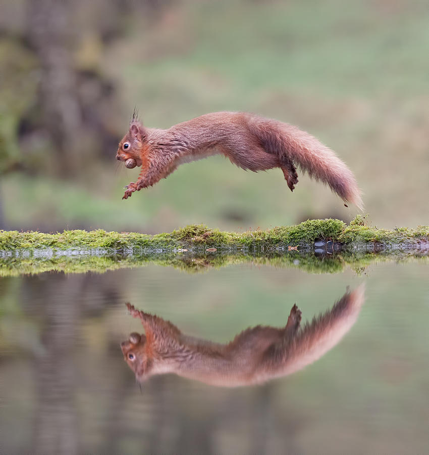 Red Squirrel Leaping Photograph by Sarah Peters