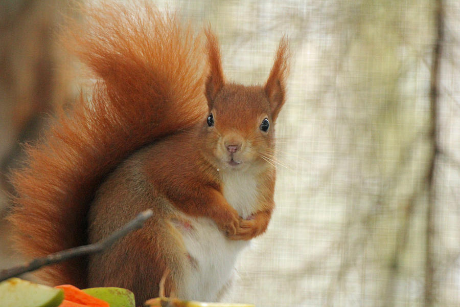 Red Photograph - Red Squirrel by Martyn Bennett