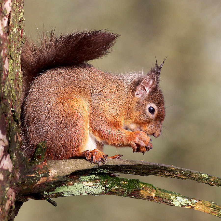 Red Squirrel Photograph - Red Squirrel perched portrait by Grant Glendinning