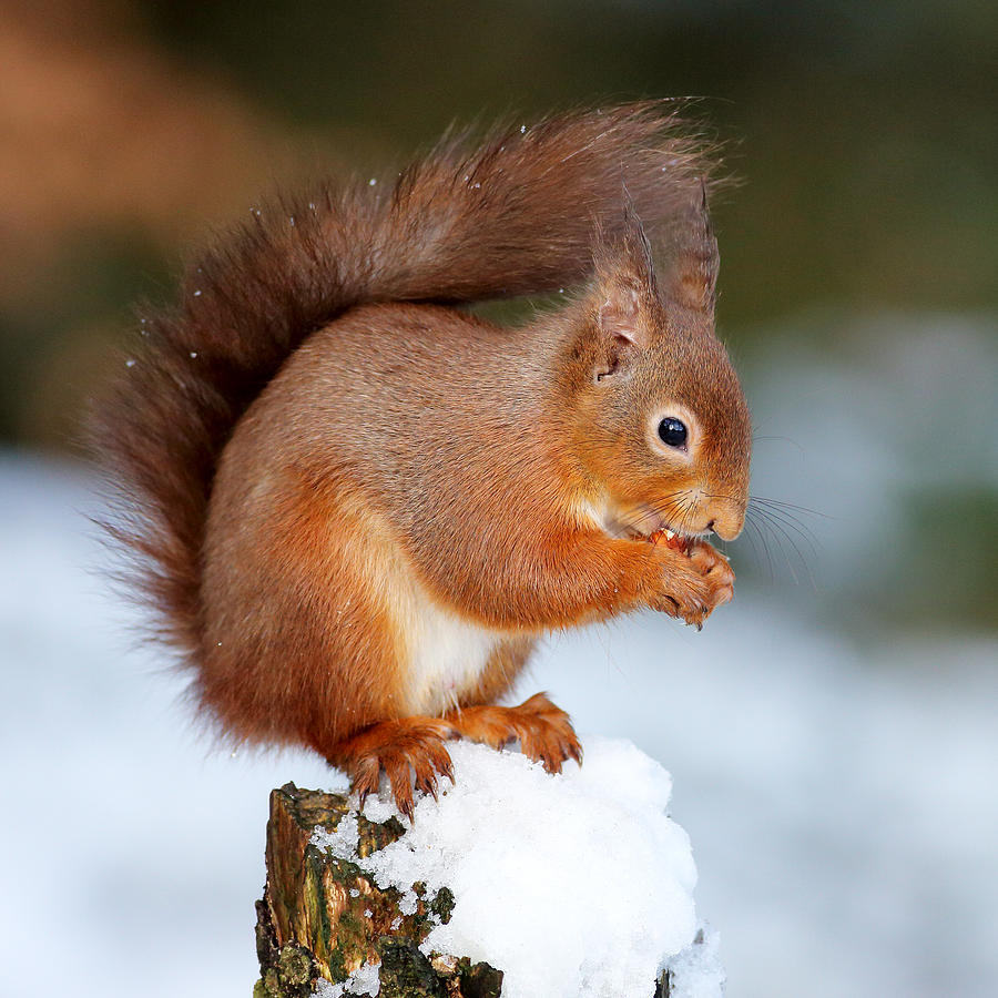 Red Squirrel Photograph - Red Squirrel Portrait by Grant Glendinning