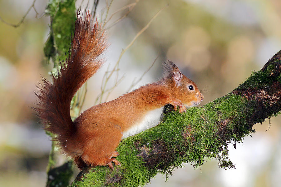 Red Squirrel Photograph - Red Squirrel Scotland by Grant Glendinning