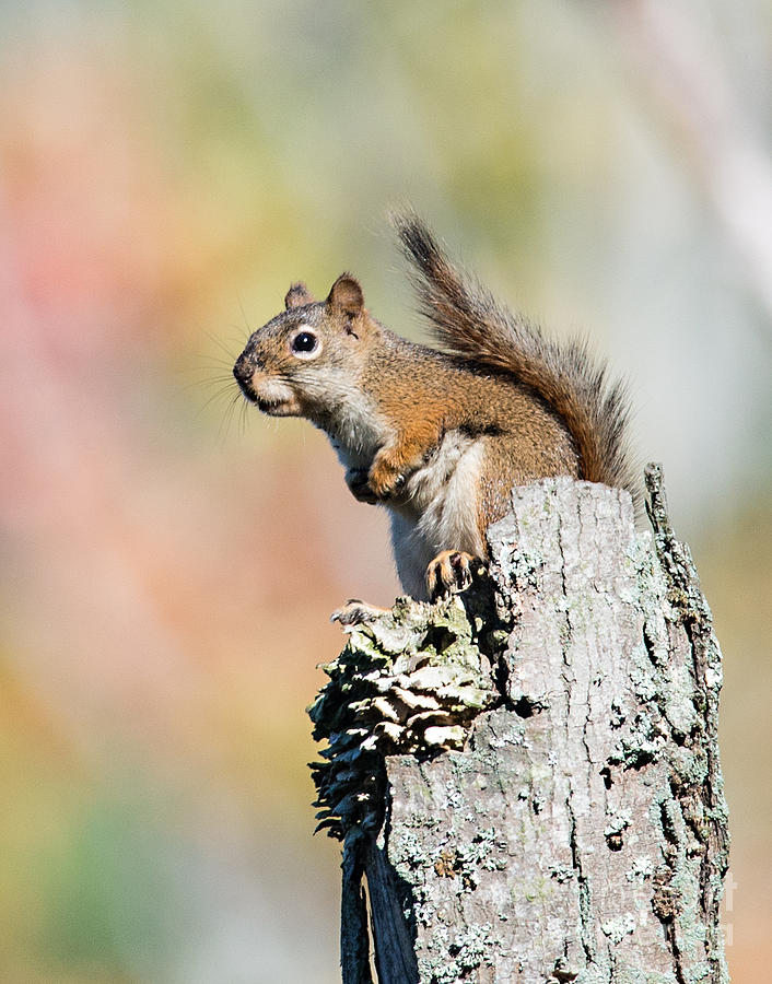 Red Squirrel Sitting on a Dead Tree in Autumn by Jean A Chang