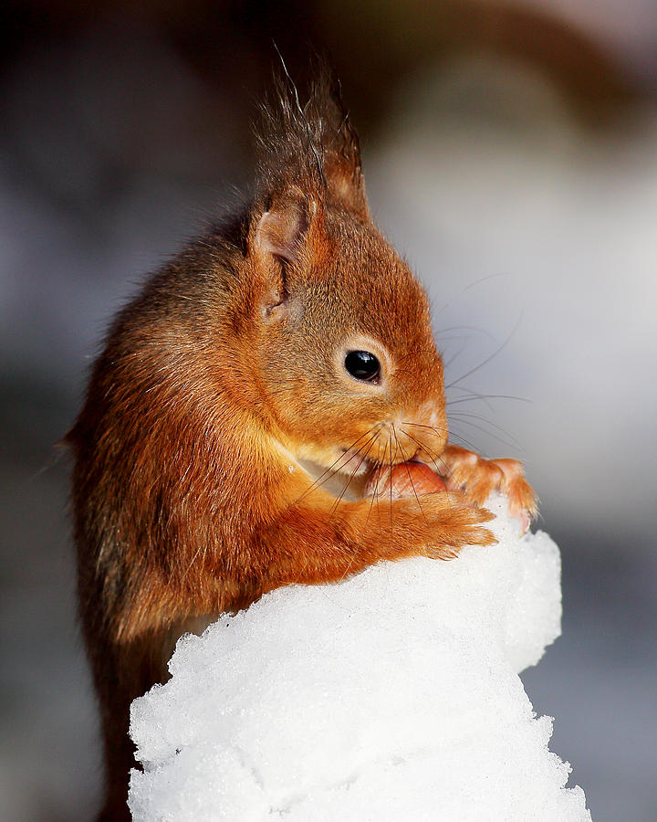 Red Squirrel Photograph - Red Squirrel With Nut In Snow by Grant Glendinning