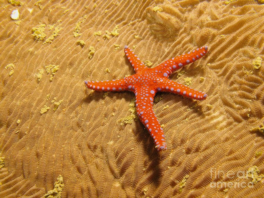 Star Fish Photograph - Red Star  by Gary Bridger