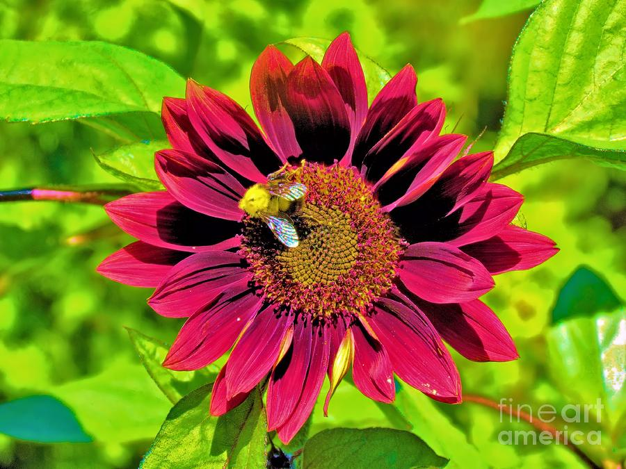 Red Sunflower Photograph
