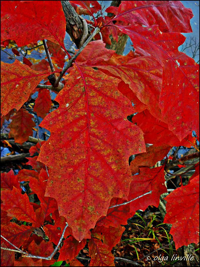 Leaf Photograph - RED by Susan Olga Linville