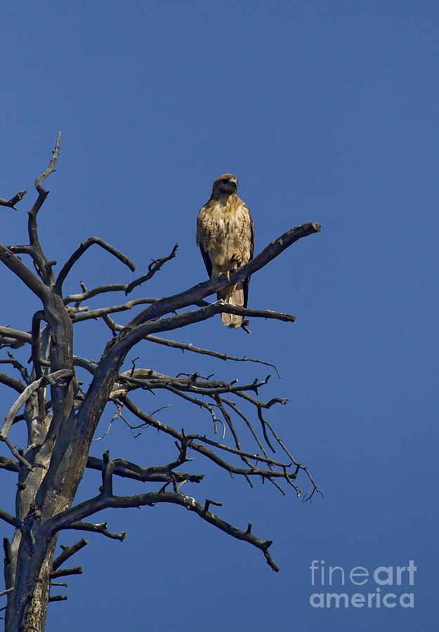 Hawk Photograph - Red-tail Hawk   #0622 by J L Woody Wooden